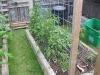 7 Tomato Plants