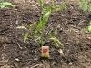 New Tomato - BHN 444