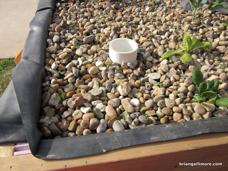 Lettuce and Spinach sprouted from seed in gravel